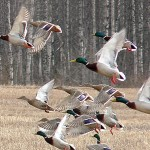 Aerial Survey Shows Above-Average Numbers for Early Duck Season