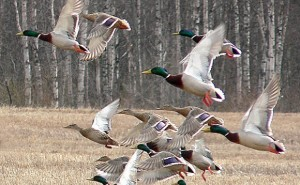 Arkansas Duck Season