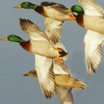 Waterfowl Report says Habitat, Weather Conditions Slowly Improving