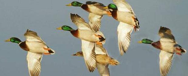 Arkansas duck
