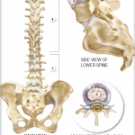 Anatomy and Function of the Spine