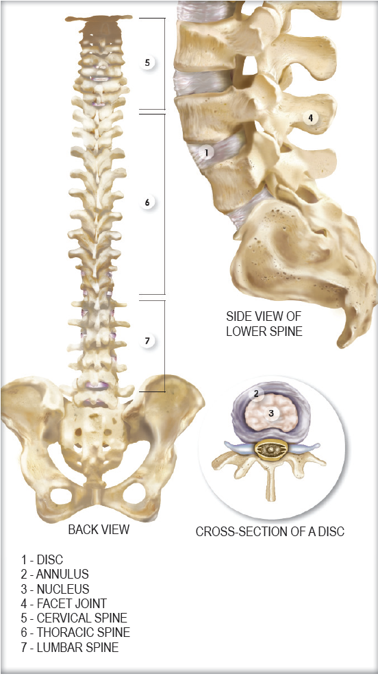 Anatomy and Function of the Spine - Sporting Life Arkansas
