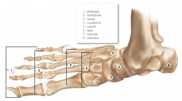 Anatomy And Function Of The Foot And Ankle Sporting Life Arkansas