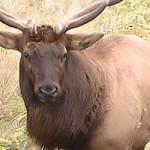 25 Hunters Win Arkansas Elk Hunting Permits for 2013 Season