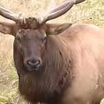 Alligator, Public Land Elk Hunting Permits Drawn