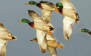 Arkansas Waterfowl Report