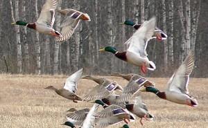 Arkansas Duck Season