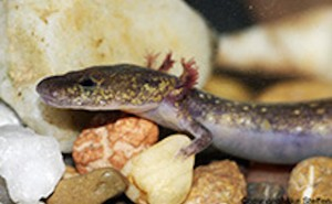 Salamander Discovered in Arkansas