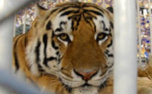 keep your eye on the lsu tiger